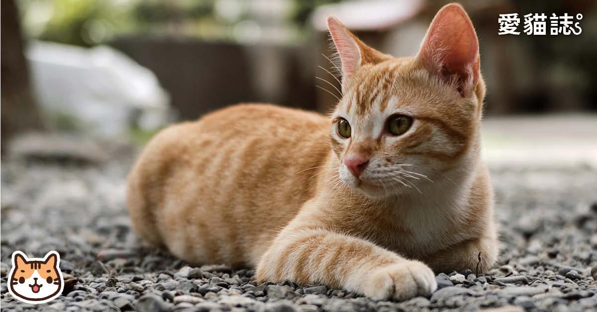 貓慢性腎臟病-貓腎衰竭