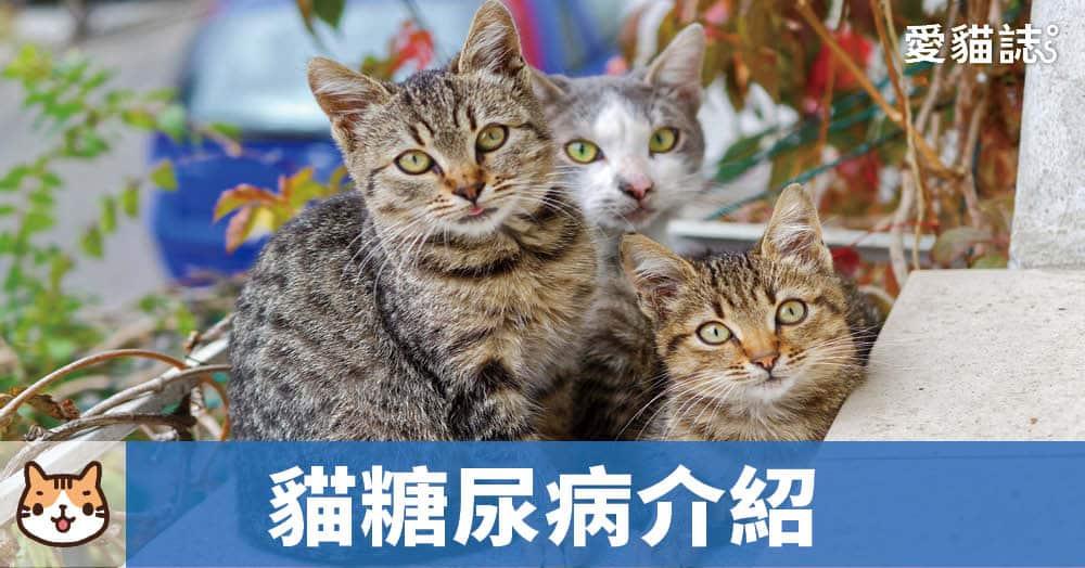 貓糖尿病介紹