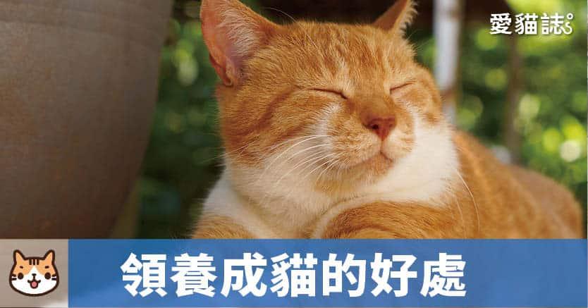 領養成年貓