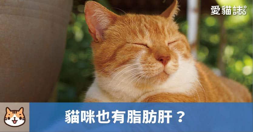 貓咪也有脂肪肝